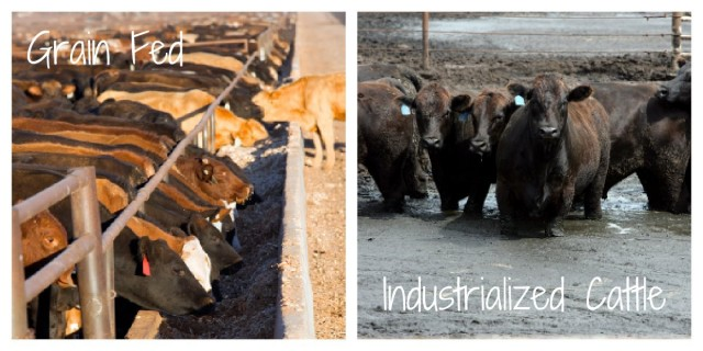 Industrialized Cattle