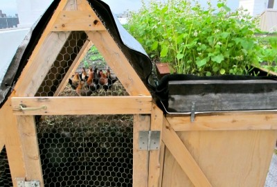 Rooftop Chickens in NYC with a Green Roof