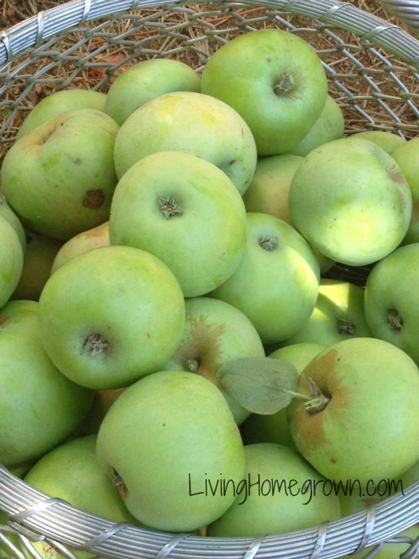 How to root cellar apples