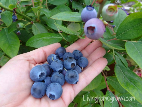 How To Grow Awesome Blueberries In Containers
