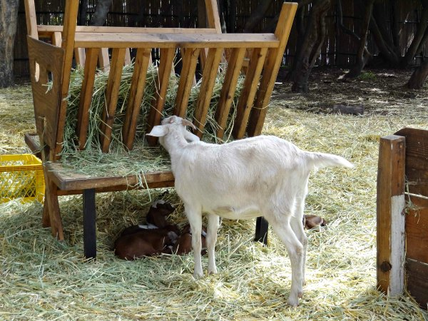 Proper Care of Goats
