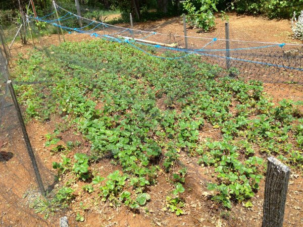 Farmstead Strawberries