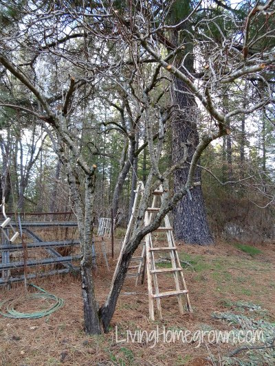 5 steps to restoring old fruit trees