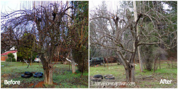 Pruning mature fruit trees