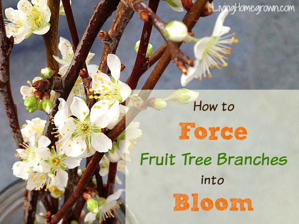 How To Force Fruit Tree Branches - LivingHomegrown.com