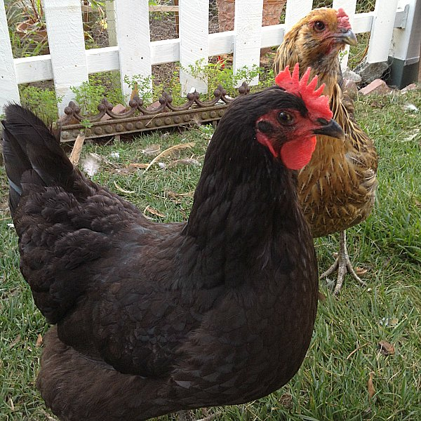 Keeping Backyard Chickens - LivingHomegrown.com