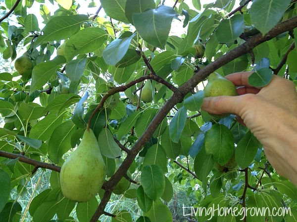 How to pick and ripen pears - LivingHomegrown.com
