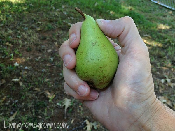 How to pick and ripen a pear - LivingHomegrown.com