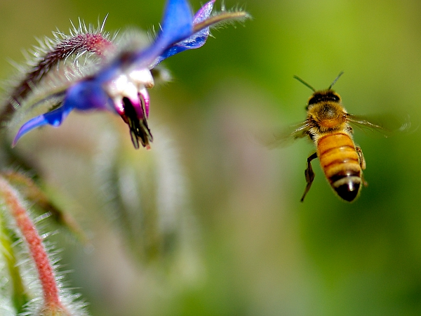 Bees Love Borage - LivingHomegrown.com
