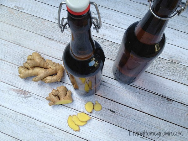 Making a Ginger Bug - LivingHomegrown.com