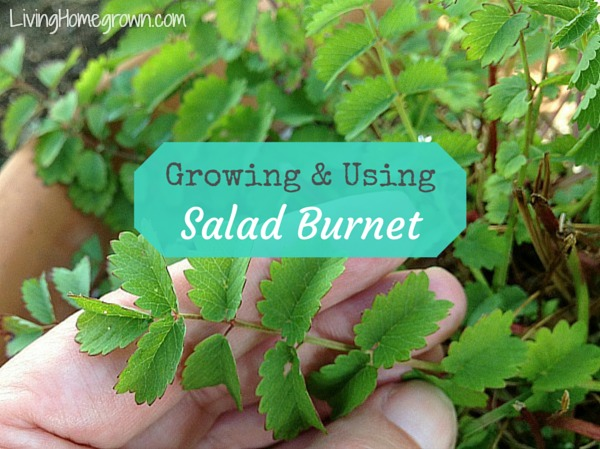 Growing Salad Burnet - LivingHomegrown.com